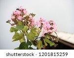 orchid tree  bauhinia purpurea... | Shutterstock . vector #1201815259