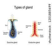 types of gland. anatomy of an... | Shutterstock .eps vector #1201885699