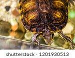 trachemys srcipta or pond... | Shutterstock . vector #1201930513