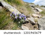 violet shaggy flowers on coarse ... | Shutterstock . vector #1201965679