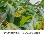Horse Chestnut Husks Growing O...