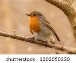 robin redbreast perched in a... | Shutterstock . vector #1202050330
