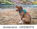 young pit bull terrier dog in... | Shutterstock . vector #1202082976