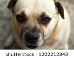 close up eyes of daug dog  | Shutterstock . vector #1202212843