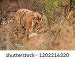 female tiger stalking in her... | Shutterstock . vector #1202216320