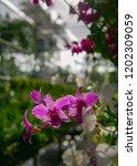 purple thai orchid in garden... | Shutterstock . vector #1202309059