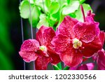 pink phalaenopsis or moth... | Shutterstock . vector #1202330566