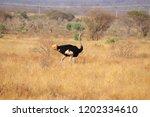 somali ostrich in kenya | Shutterstock . vector #1202334610