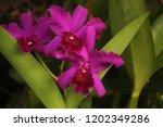 close up  thai  orchid in... | Shutterstock . vector #1202349286