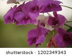 close up  thai  orchid in... | Shutterstock . vector #1202349343