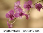 close up  thai  orchid in... | Shutterstock . vector #1202349436