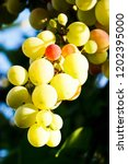bunches of wine grapes | Shutterstock . vector #1202395000