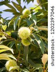 chestnut in malaga  spain | Shutterstock . vector #1202397046