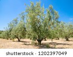 olive tree in valencia  spain | Shutterstock . vector #1202397049