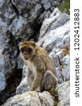 the famous apes of gibraltar ... | Shutterstock . vector #1202412883