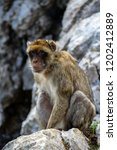 the famous apes of gibraltar ... | Shutterstock . vector #1202412889