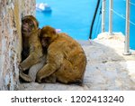 the famous apes of gibraltar ... | Shutterstock . vector #1202413240