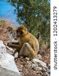 the famous apes of gibraltar ... | Shutterstock . vector #1202413279