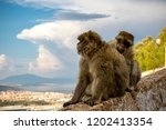 The famous apes of Gibraltar, located in the upper Rock nature reserve . Gibraltar is a British Overseas Territory located on the southern tip of Spain. - stock photo