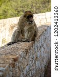 the famous apes of gibraltar ... | Shutterstock . vector #1202413360