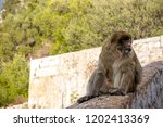 the famous apes of gibraltar ... | Shutterstock . vector #1202413369