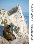 the famous apes of gibraltar ... | Shutterstock . vector #1202420449