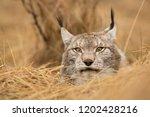 eurasian lynx also known as...   Shutterstock . vector #1202428216