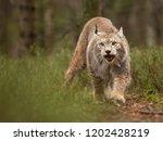 eurasian lynx also known as...   Shutterstock . vector #1202428219