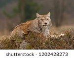 eurasian lynx also known as...   Shutterstock . vector #1202428273