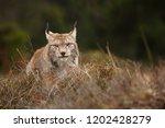 eurasian lynx also known as...   Shutterstock . vector #1202428279