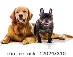 Two Dogs  A Golden Retriever...