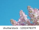 Elegant pink spring flowers at...