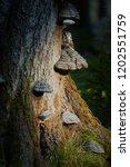 close up  boreal owl  aegolius... | Shutterstock . vector #1202551759