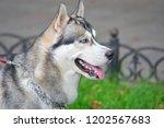 portrait of a beautiful husky... | Shutterstock . vector #1202567683