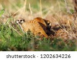 the meerkat or suricate ... | Shutterstock . vector #1202634226