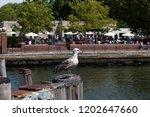 seagull on the dock by hudson...   Shutterstock . vector #1202647660