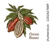 cacao beans plant  vector... | Shutterstock .eps vector #1202667889
