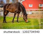 Close Up A Dark Brown Horse...