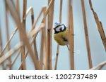 the eurasian blue tit ... | Shutterstock . vector #1202737489
