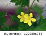 bitter melon flower | Shutterstock . vector #1202806753