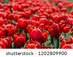 red tulips growing close... | Shutterstock . vector #1202809900
