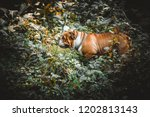 english bulldog in the woods  | Shutterstock . vector #1202813143