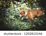orange bulldog in the woods | Shutterstock . vector #1202813146