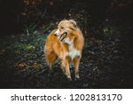 cur dog in the woods | Shutterstock . vector #1202813170