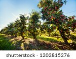 apple orchard. ripe red apples...   Shutterstock . vector #1202815276