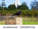 sleek shiny  australian black ... | Shutterstock . vector #1202834116