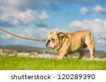 Stock photo beautiful dog english bulldog walking on a leash 120289390