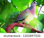 the spotted dove or  spilopelia ... | Shutterstock . vector #1202897533