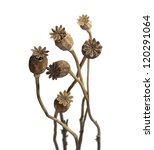 Dried Poppy Heads  Isolated On...