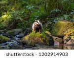 badger in forest  animal in... | Shutterstock . vector #1202914903